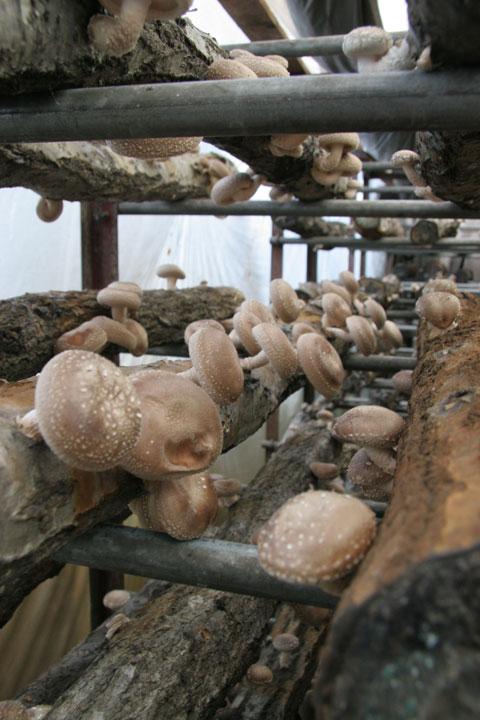 原木生椎茸